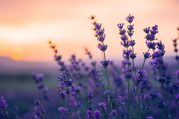Lavender field no verão, cores naturais, foco seletivo.