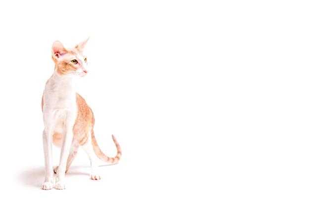 Leal cornish rex gato isolado no fundo branco