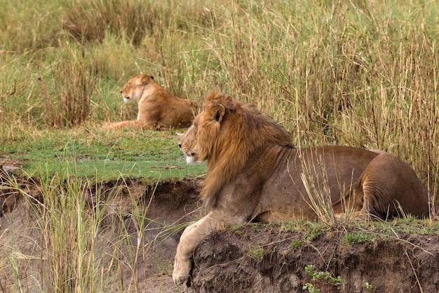 Leão adulto deitado e uma leoa, vista lateral