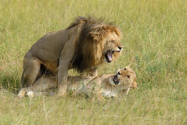 Leão africano no parque da áfrica do sul