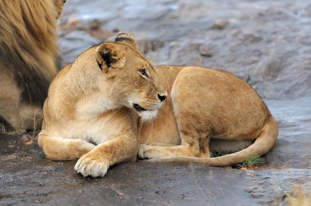 Leão africano no parque nacional da áfrica do sul