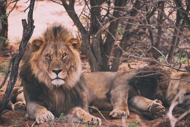 Leão apoiado em árvores