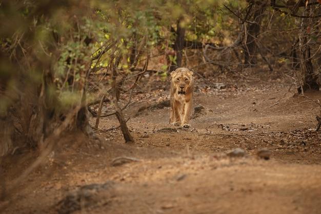 Leão asiático lindo e raro no habitat natural do parque nacional de gir