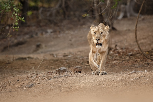 Leão asiático raro e bonito no habitat natural do parque nacional de gir, na índia