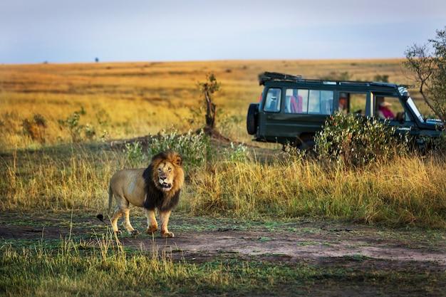 Leão bonito com um carro de safári no fundo no quênia, áfrica