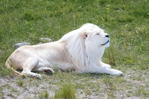 Leão branco deitado na grama verde