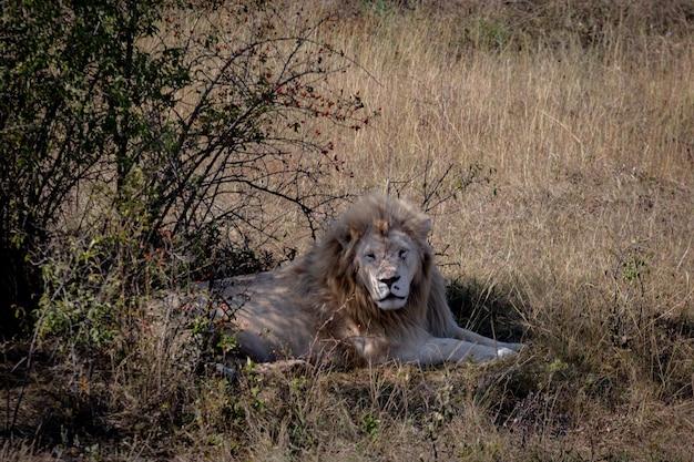 Leão branco descansando à sombra de árvores
