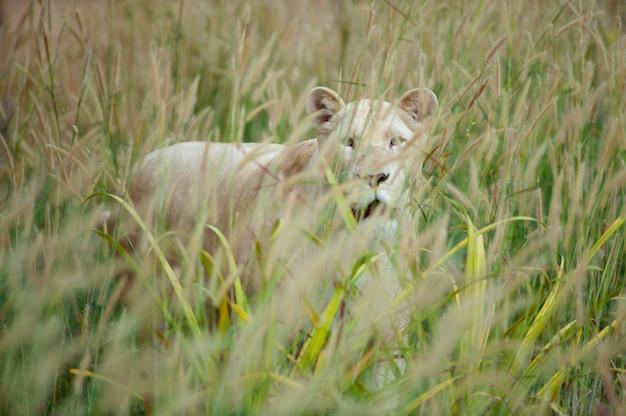 Leão branco (panthera leo) em pé no campo de grama