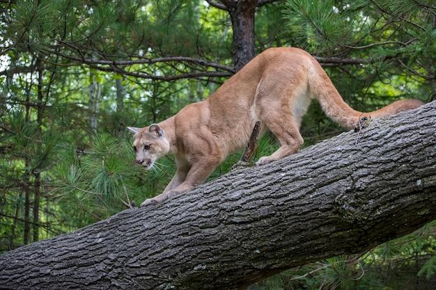 Leão da montanha agachado na descida de uma árvore inclinada