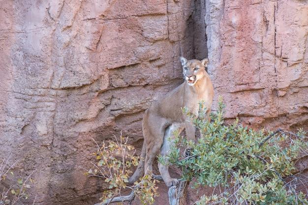 Leão da montanha em pé no topo de uma árvore
