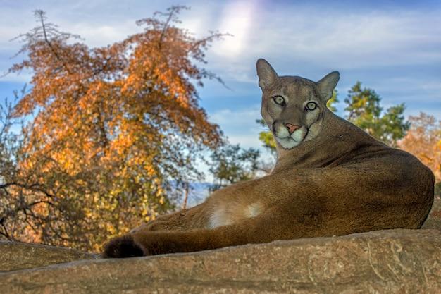 Leão da montanha relaxando em uma borda Foto Premium