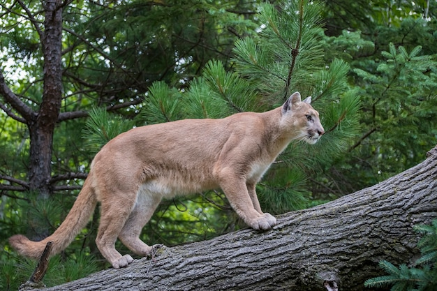 Leão da montanha subindo uma árvore inclinada