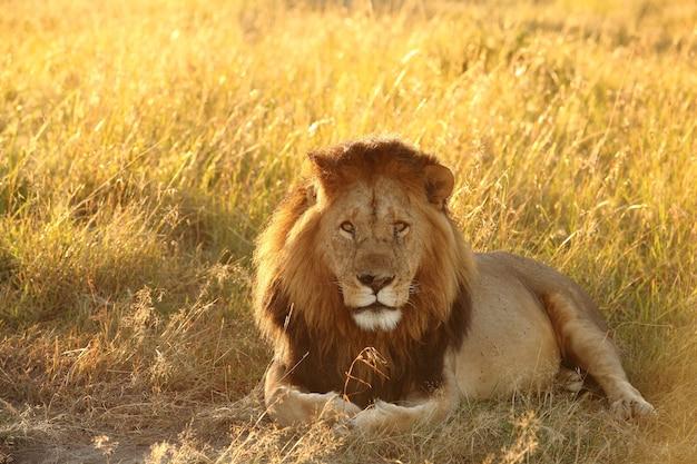 Leão deitado em um campo coberto de grama sob a luz do sol