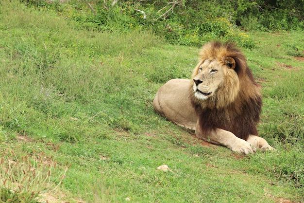 Leão deitado em um campo coberto de vegetação sob a luz do sol