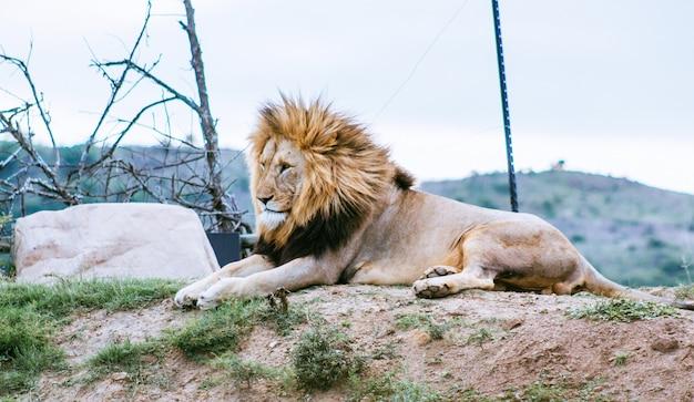 Leão deitado na colina, olhando em outra direção