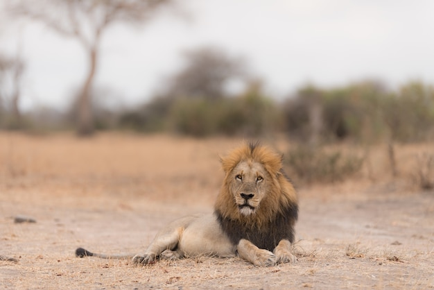 Leão deitado no chão