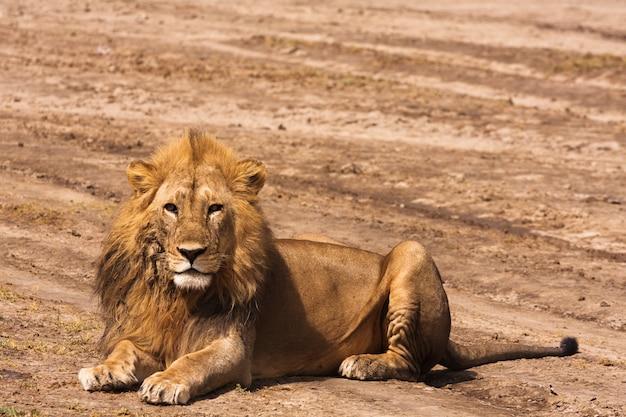 Leão descansando no chão na savana arenosa de serengeti, tanzânia