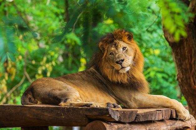 Leão descansando perto de uma árvore