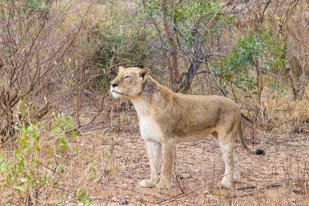 Leão do parque nacional kruger, áfrica do sul