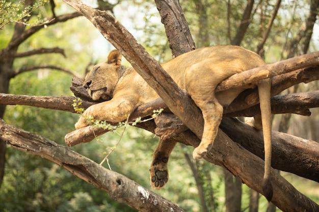 Leão dorme na árvore