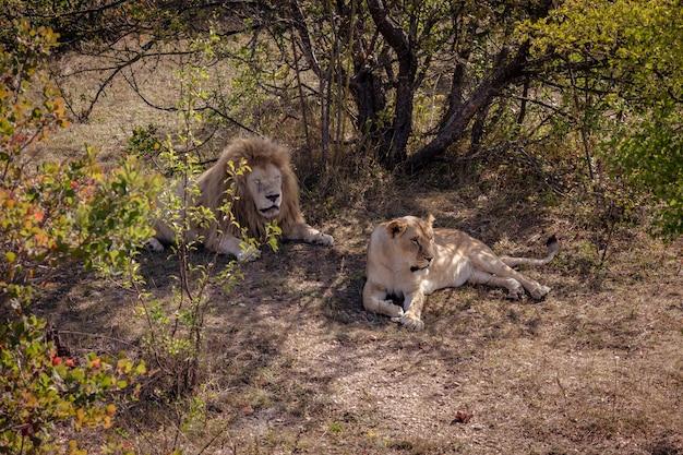 Leão e leoa brancos descansando à sombra de árvores em um dia quente de verão