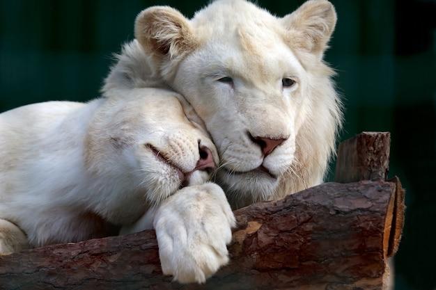 Leão e leoa brancos pressionaram suavemente suas cabeças um contra o outro