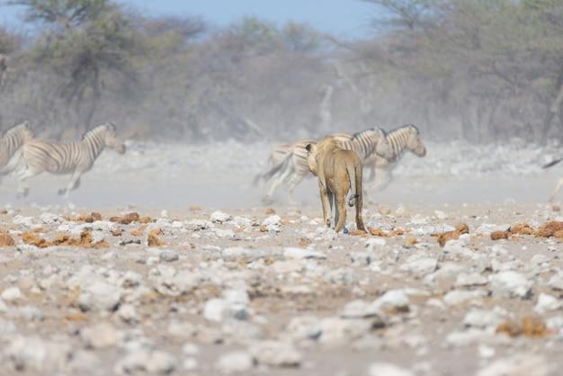 Leão e zebras fugindo, desfocado em segundo plano