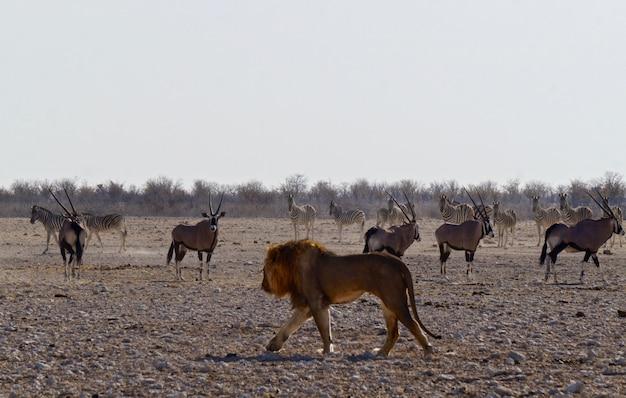 Leão em parque nacional etosha - namíbia