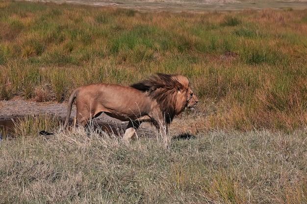 Leão em safári no quênia e na tanzânia, áfrica