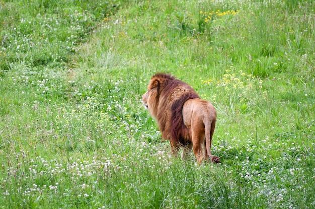Leão em um ambiente natural