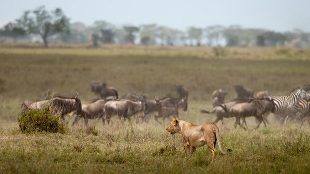 Leão encontrado nos parques nacionais do leste africano