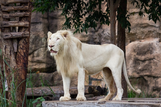 Leão está assistindo comida