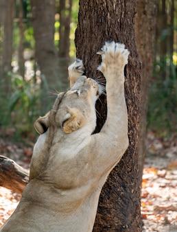 Leão feminino coçar casca de árvore