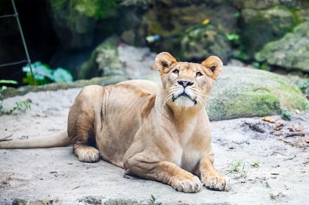 Leão feminino, leoa no chão