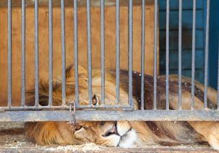 Leão foto