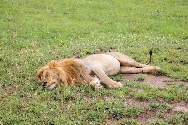 Leão grande descansando na grama no prado