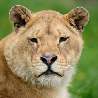 Leão jovem na grama verde