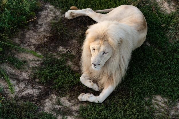 Leão. leão portait em luzes brancas. foto do mundo animal. retrato de um predador dominante.