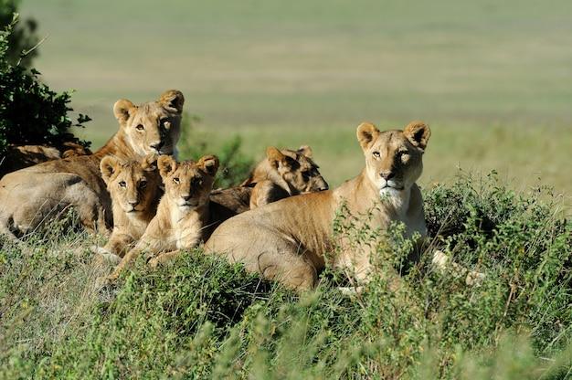 Leão lindo na grama de masai mara, no quênia