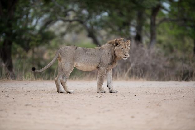 Leão macho caminhando na estrada