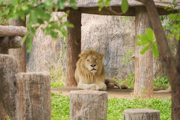 Leão macho deitado