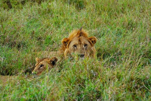 Leão macho e fêmea