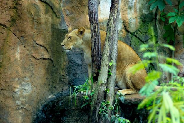 Leão macho sentado em uma pedra perto de uma árvore