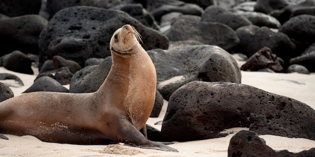 Leão mar galápagos, (zalophus, californianus, wollebacki), com, vulcânico, pedras, playa, ochoa, ilha san cristobal, ilhas galapagos, equador