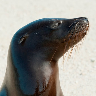Leão mar galapagos, (zalophus, californianus, wollebacki), genovesa, ilha, ilhas galapagos, equador