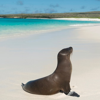 Leão mar galapagos, (zalophus, californianus, wollebacki), ligado, a, praia, gardner, baía, ilha espanola, ilhas galapagos, equador