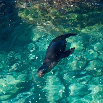 Leão mar galapagos, (zalophus, californianus, wollebacki), natação, punta suarez, ilha espanola, ilhas galapagos, equador