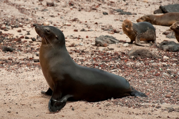 Leão mar galapagos, (zalophus, californianus, wollebacki), puerto, baquerizo, moreno, ilha san cristobal, ilhas galapagos, equador