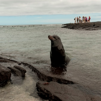 Leão mar galapagos, (zalophus, californianus, wollebacki), punta, espinoza, fernandina, ilha, ilhas galapagos, equador