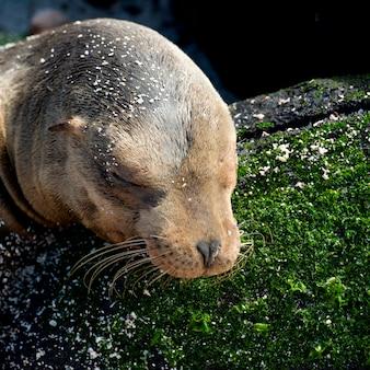 Leão mar galapagos, (zalophus, californianus, wollebacki), punta suarez, ilha espanola, ilhas galapagos, equador